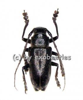 Cerambycidae spec. #23  ( 15 - 24 )