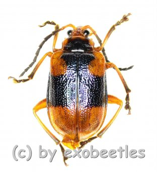Cerambycidae spec. #45  ( 10 - 14 )