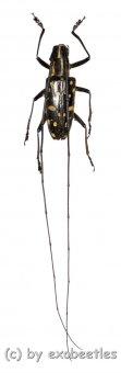 Cerambycidae spec. #54  ( 20 - 24 )  A1-