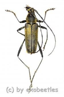 Cerambycidae spec. #55  ( 15 - 19 )
