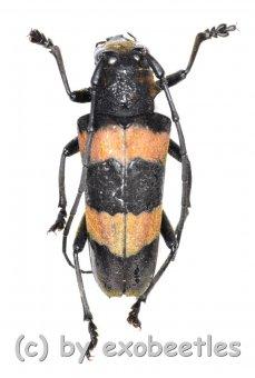 Cerambycidae spec. #56  ( 20 - 24 )