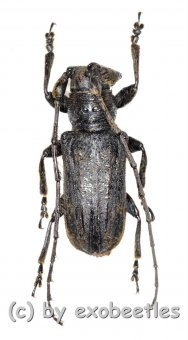 Cerambycidae spec. #64  ( 20 - 24 )  A2