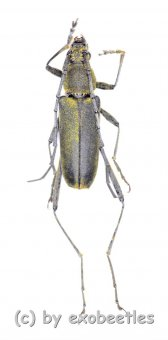 Cerambycidae spec. #70  ( 15 - 19 )  A2