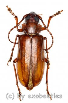 Cerambycidae spec. #72  ( 30 - 34 )