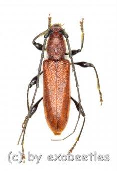 Cerambycidae spec. #75  ( 10 - 19 )  A2