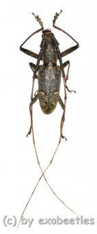 Cerambycidae spec. #76  ( 25 - 29 )