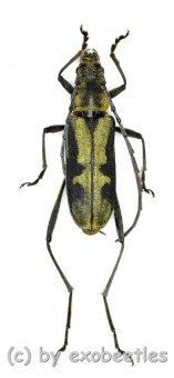Cerambycidae spec. #77  ( 15 - 19 )
