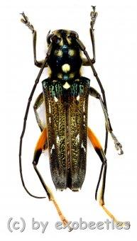 Cerambycidae spec. #83  ( 15 – 19 )