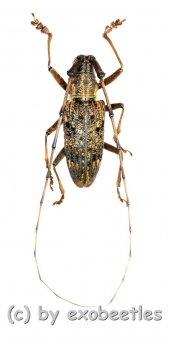 Cerambycidae spec. #89  ( 25 – 29 )