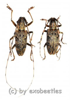 Cerambycidae spec. #89  ( M 30 – 34 )