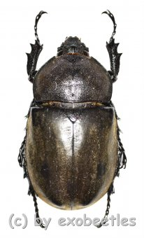 Chalcosoma atlas / caucasus  ( 55 - 59 )
