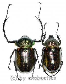 Cheirotonus battareli  ( M 55 – 59 )