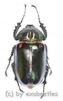 Cheirotonus jansoni  ( 55 – 59 )