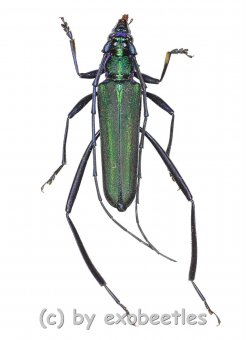 Chloridolum spec. #1  ( 25 - 29 )