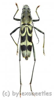 Chlorophorus japonicus  ( 20 - 24 )