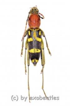 Chlorophorus rubricollis  ( 15 – 19 )  A2
