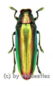 Chrysochroa aurora