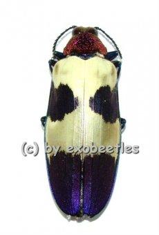 Chrysochroa buqueti rugicollis  ( 40 – 44 )