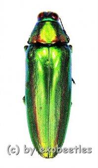 Chrysochroa rajah thailandica  ( 35 - 44 )