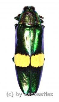 Chrysochroa saundersi  ( 45 – 49 )