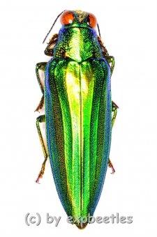 Chrysochroa vittata  ( 35 – 39 )
