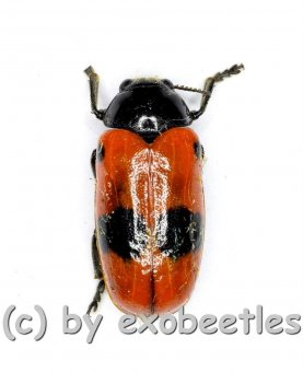 Clytra laeviuscula  ( 10 – 14 )