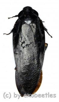 Cockroach spec. #2  ( 35 – 39 )