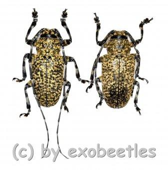 Coptops leucostictica  ( M 15 - 19 )