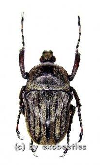 Cosmiomorpha decliva ssp.baryi  ( 20 - 29 )  A1-