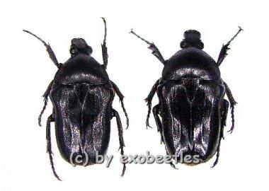 Cosmiomorpha ( Microcosmiomorpha ) setulosa  ( 15 - 19 )