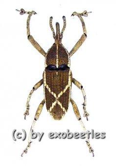 Curculionidae spec. #32  ( 10 - 14 )