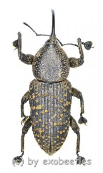 Curculionidae spec. #40  ( 15 - 24 )