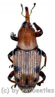 Curculionidae spec. #48  ( 25 - 29 )