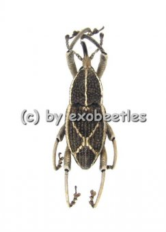 Curculionidae spec. #6