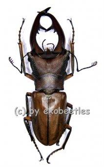 Cyclommatus alagari  ( 60 - 64 )