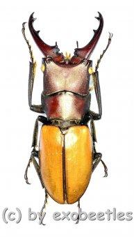 Cyclommatus bicolor ( mesodonte )  ( 30 – 34 )