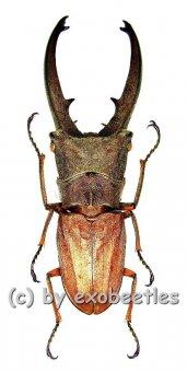 Cyclommatus canaliculatus canaliculatus  ( 55 – 59 )