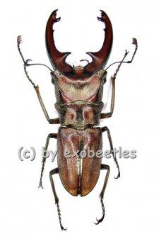 Cyclommatus zuberi  ( 35 - 39 )
