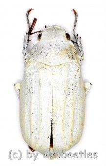 Cyphochilus insulanus  ( 25 - 34 )
