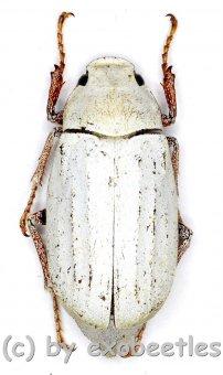 Cyphochilus spec. #4  ( 25 - 29 )