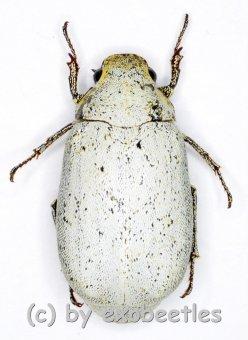 Cyphochilus spec. #5  ( 20 - 24 )