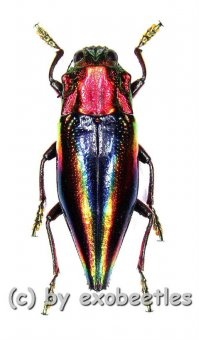 Cyphogastra javanica  ( 25 – 29 )
