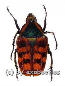 Daedycorrhina donckieri  ( 15 - 19 )