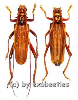 Dejanira quadripunctata  ( M 35 - 39 )