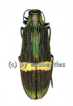 Demochroa gratiosa gratiosa  ( 30 – 34 )