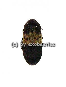 Dermestes lardarius  ( 5 – 9 )