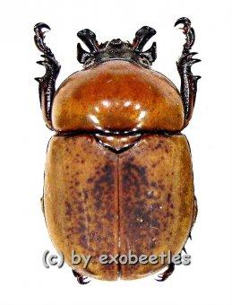 Dicaulocephalus fruhstorferi  ( 25 - 29 )