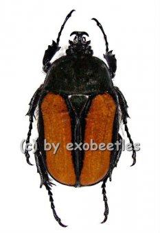 Dicellachilus woodi  A1-