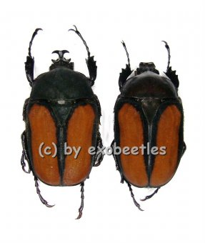 Dicellachilus woodi  A2