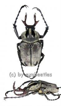 Dicranocephalus adamsi  ( 25 - 29 )